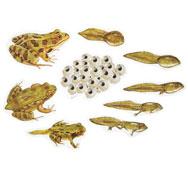 Ciclo de la vida de la rana el conjunto